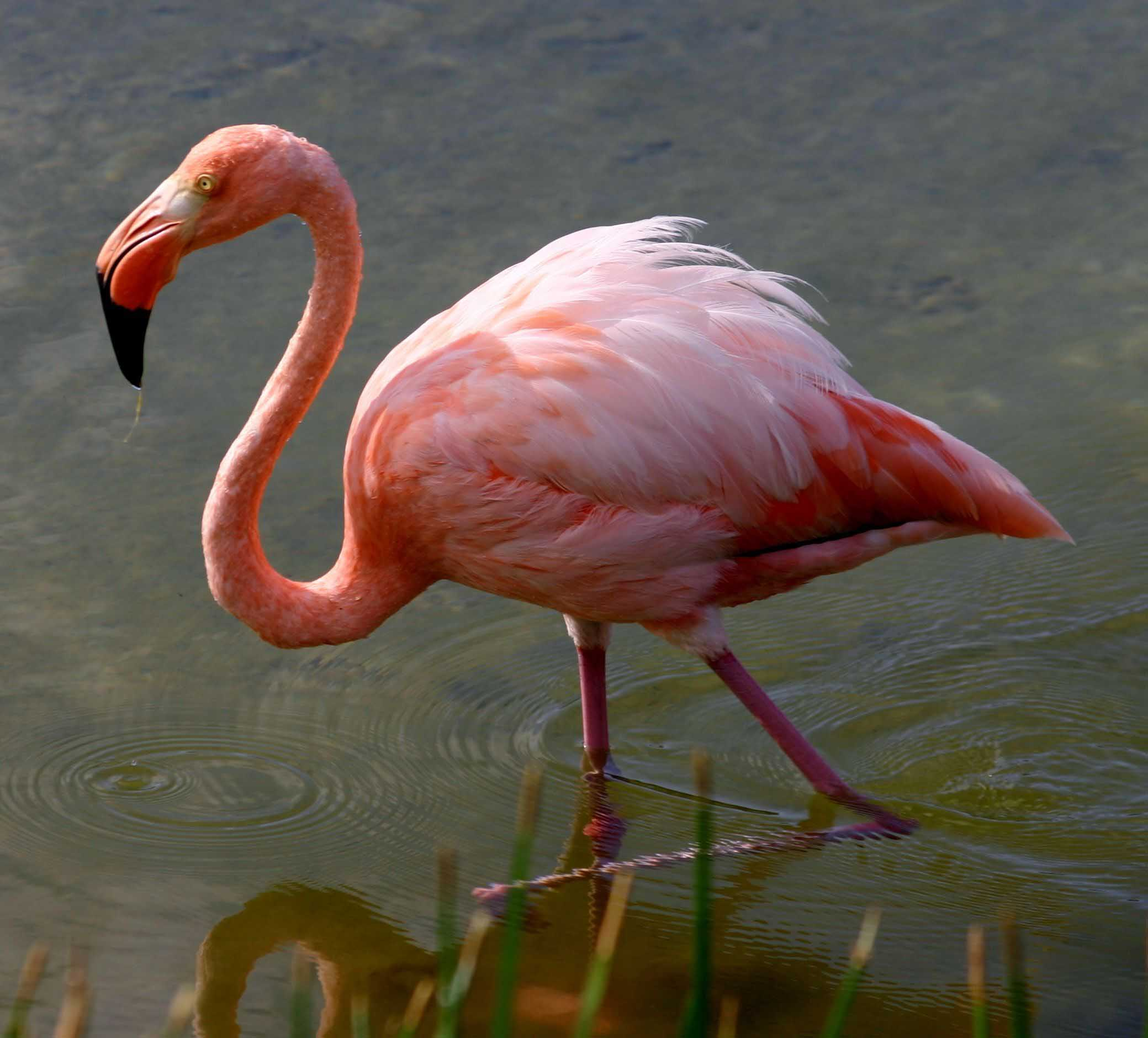 Greater flamingo hd wallpapers