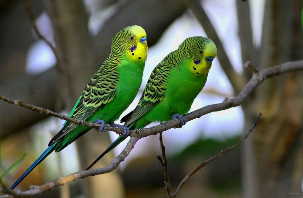 Green budgerigar pictures