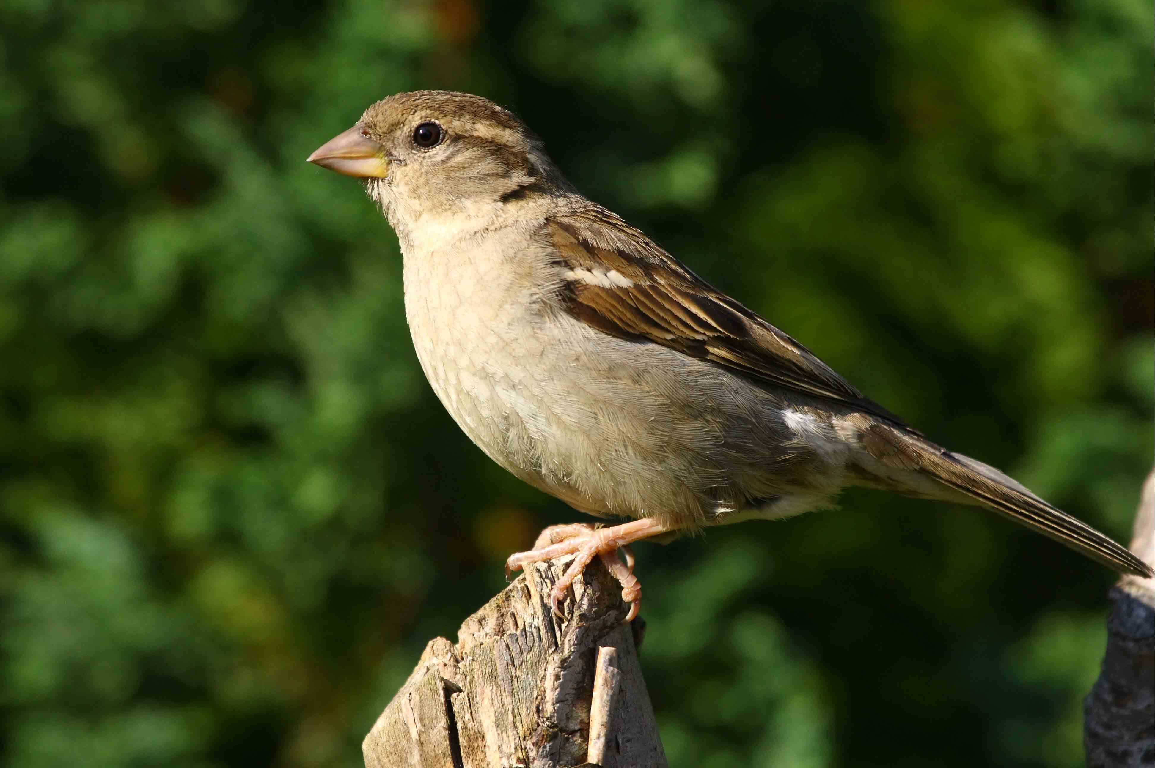 House sparrow birds pictures