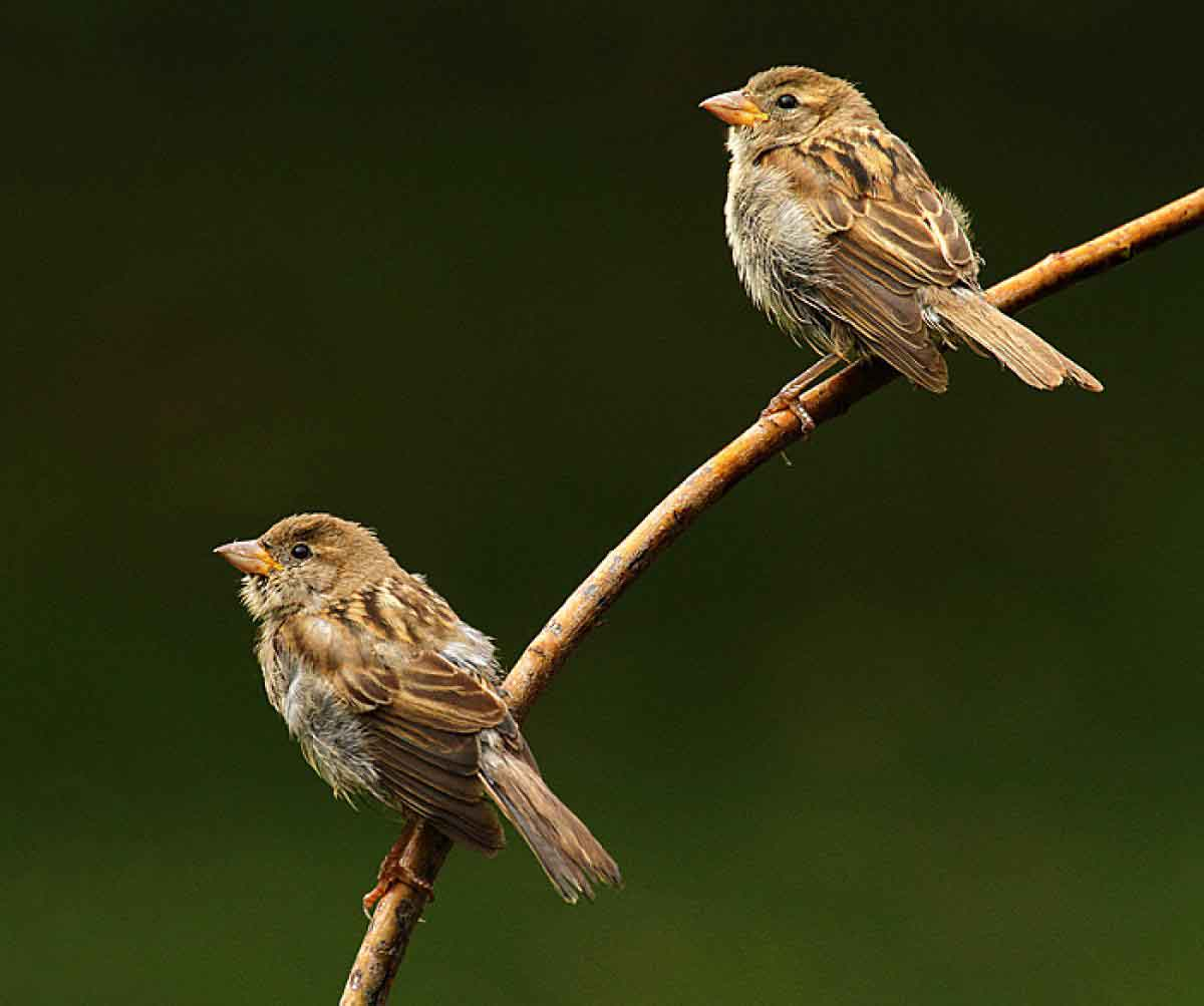 House sparrow wallpapers