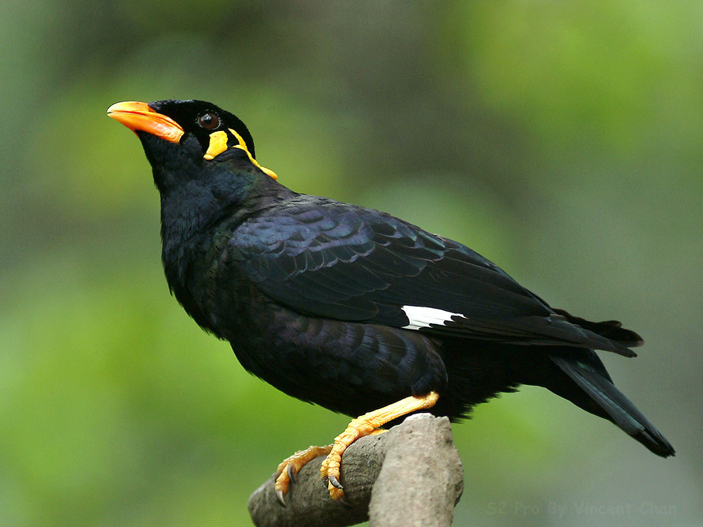 Indian bastar hill myna pictures