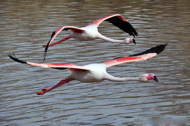 Indian greater flamingo birds flying pictures