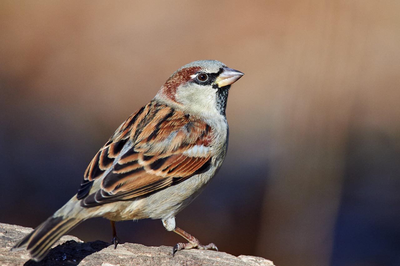 Indian house sparrow images