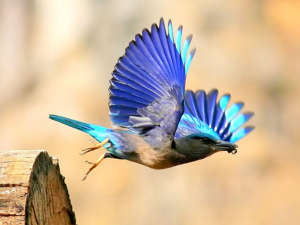 Indian roller eating photos