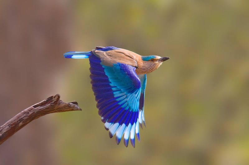 Indian roller flying photos