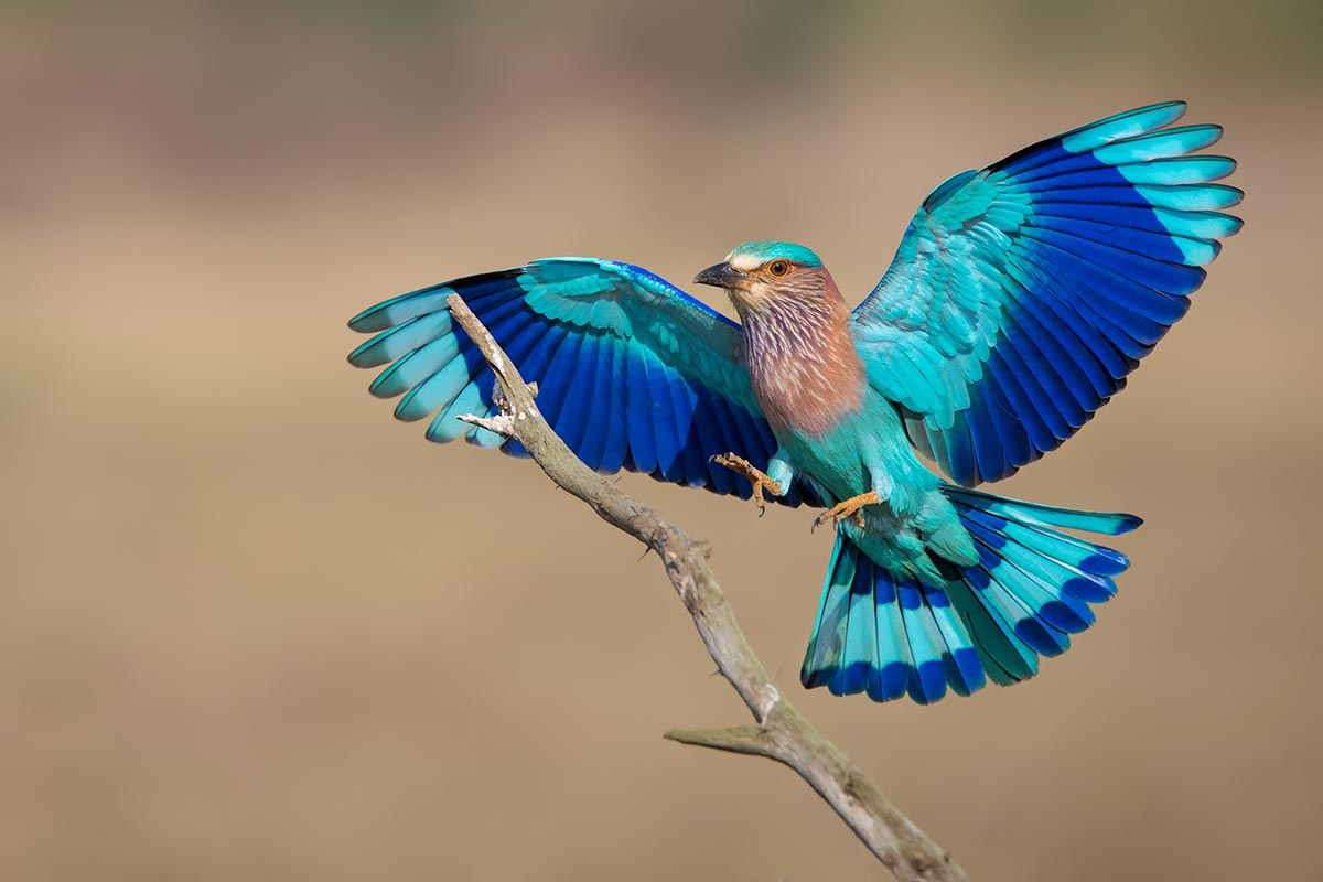Indian roller wallpapers
