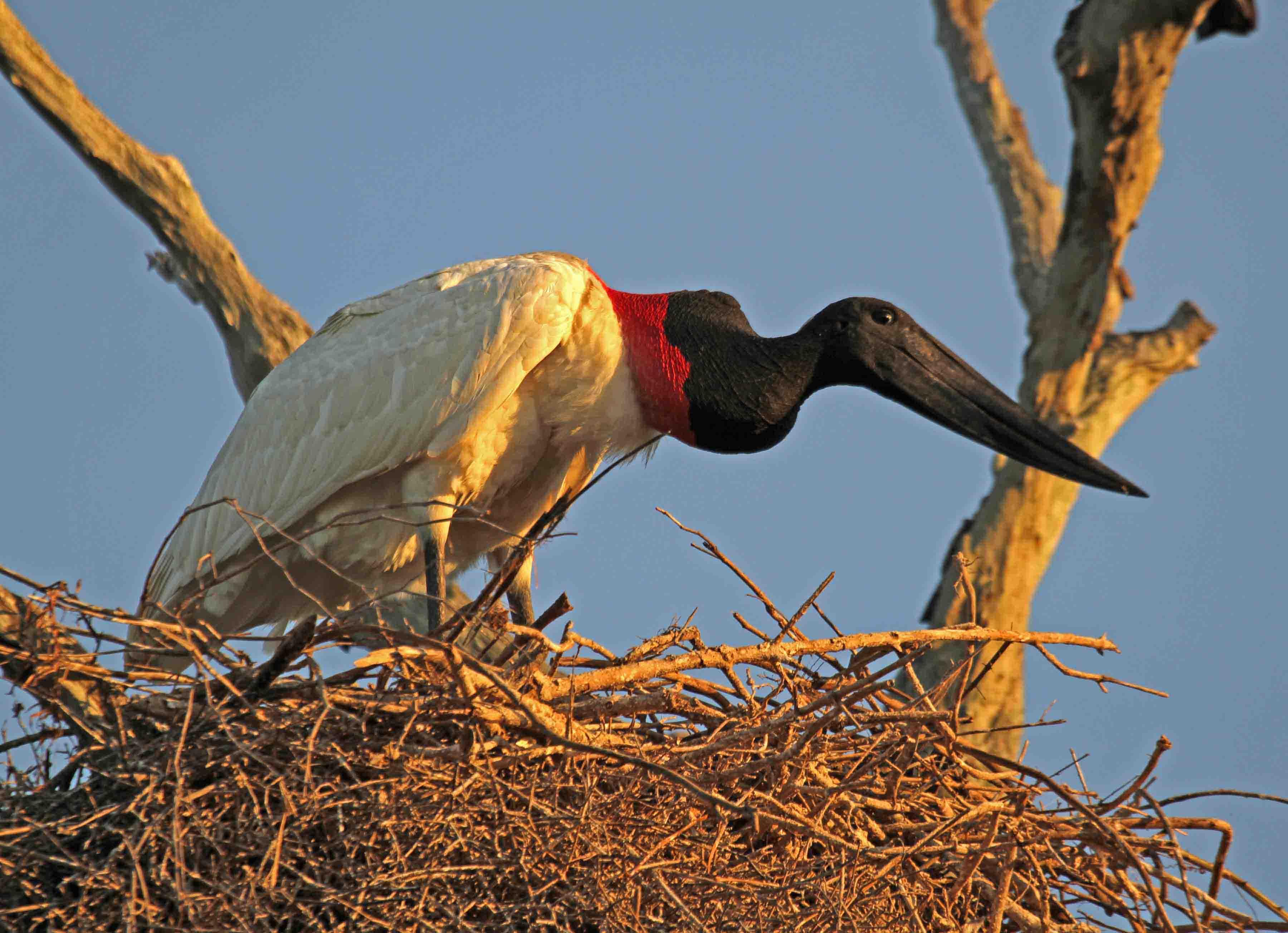 Jabiru birds pictures