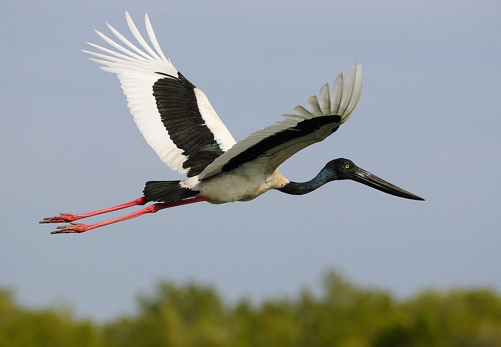Jabiru flying photos