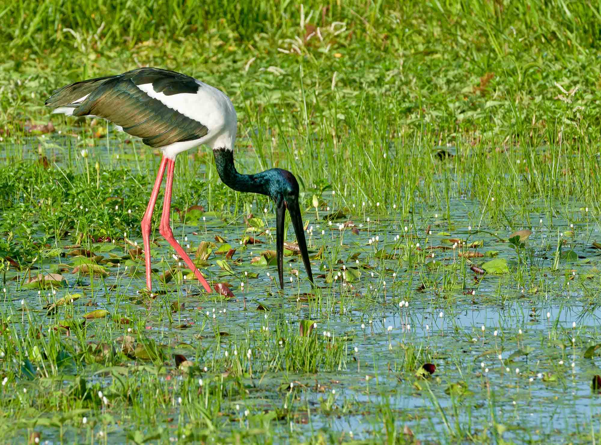 Necked stork australian bird gallery