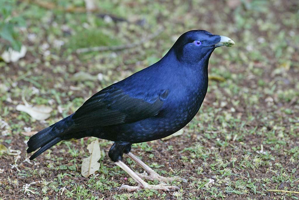 Satin bowerbird black color photos