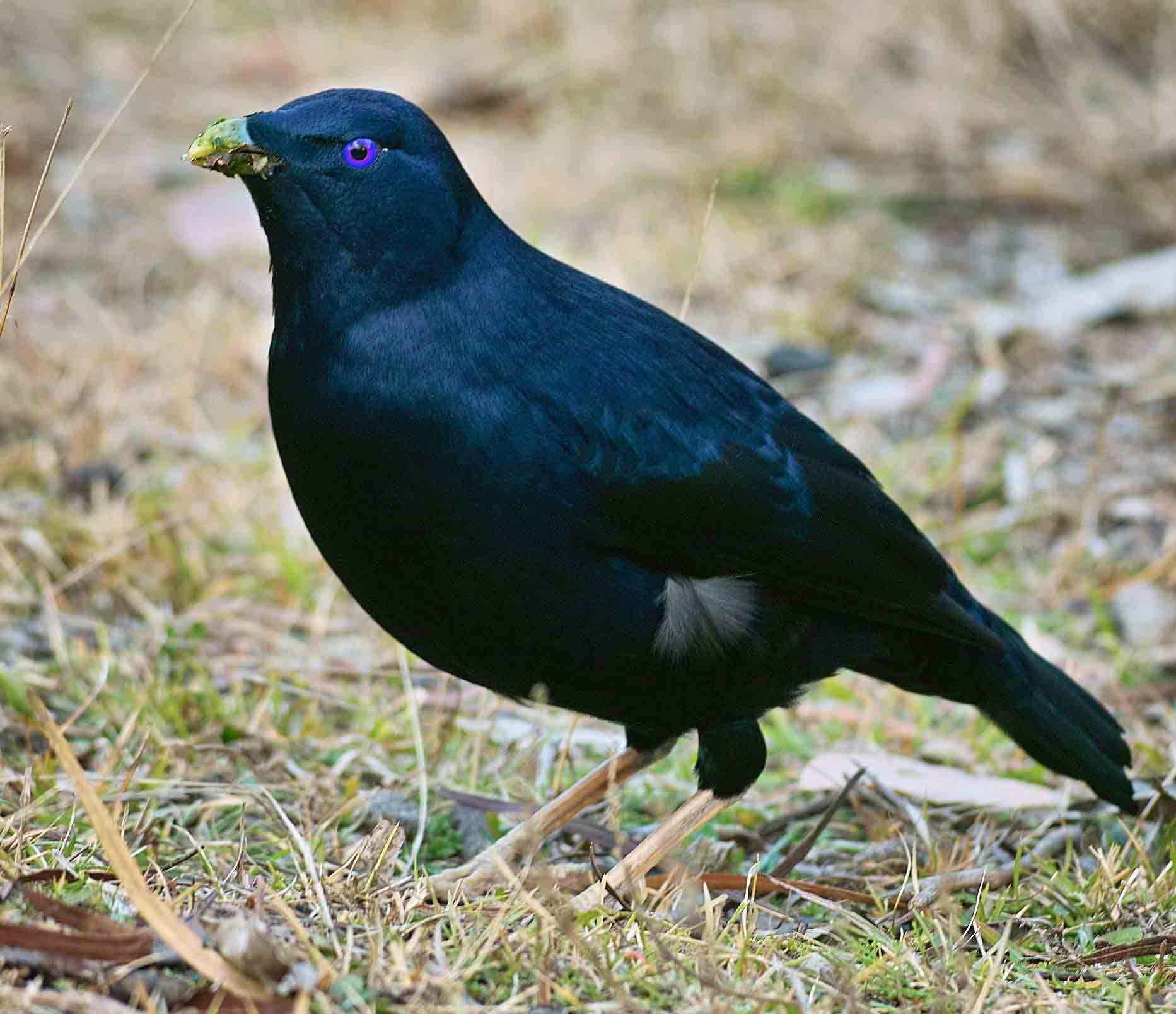 Satin bowerbird pictures