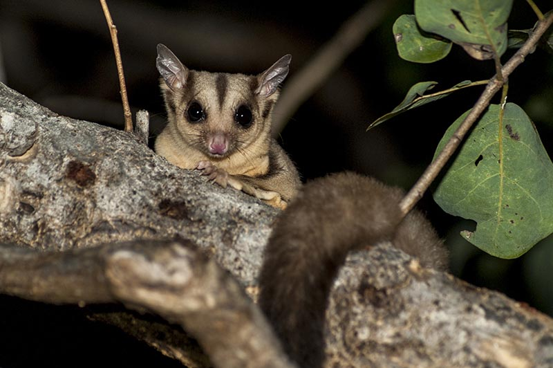 Sugar glider australian animals pictures