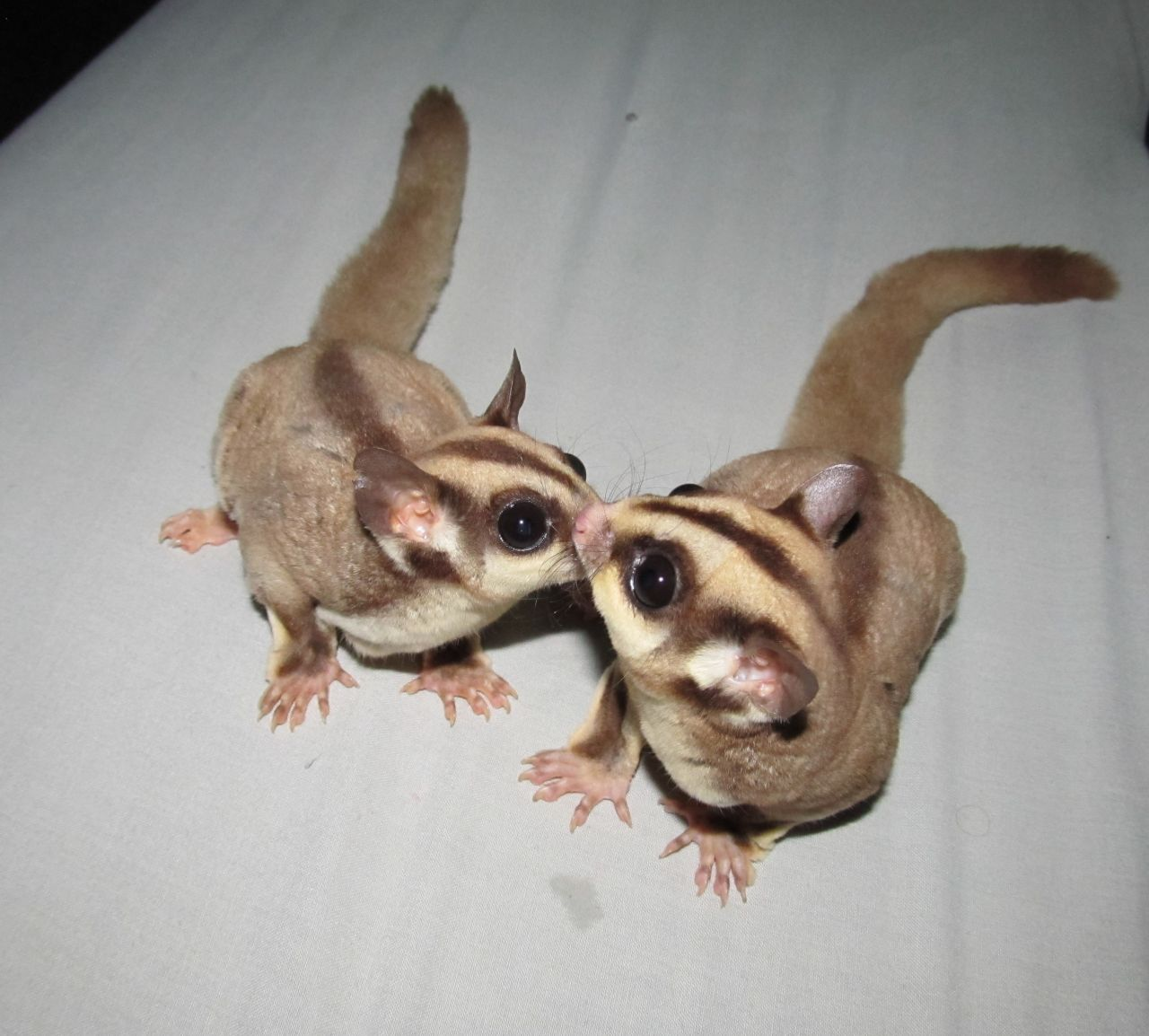 Sugar glider baby photos