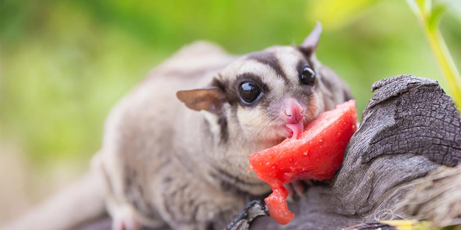 Sugar glider eating photos