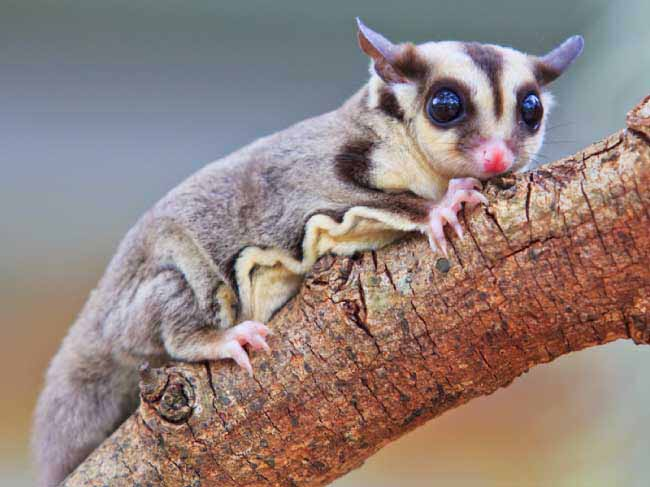 Sugar glider wallpapers