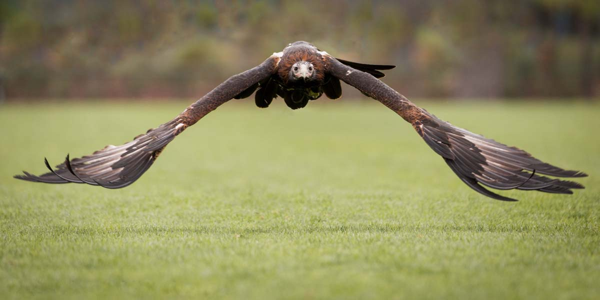 Wedge tailed eagle cute pictures