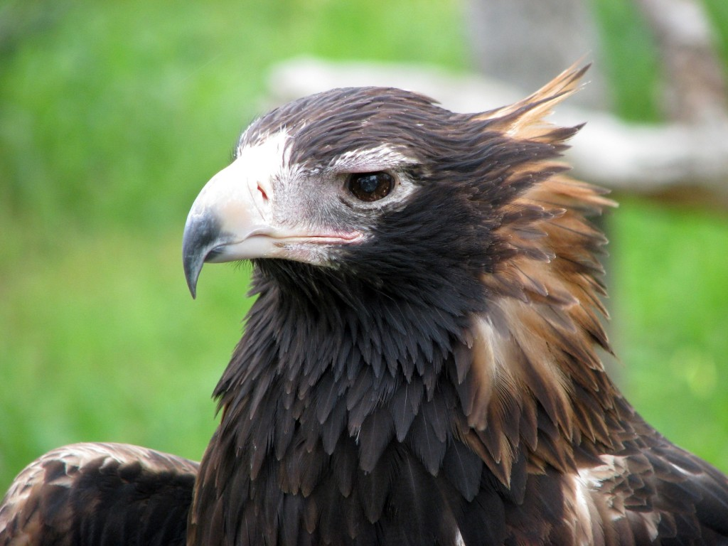 Wedge tailed eagle face pictures