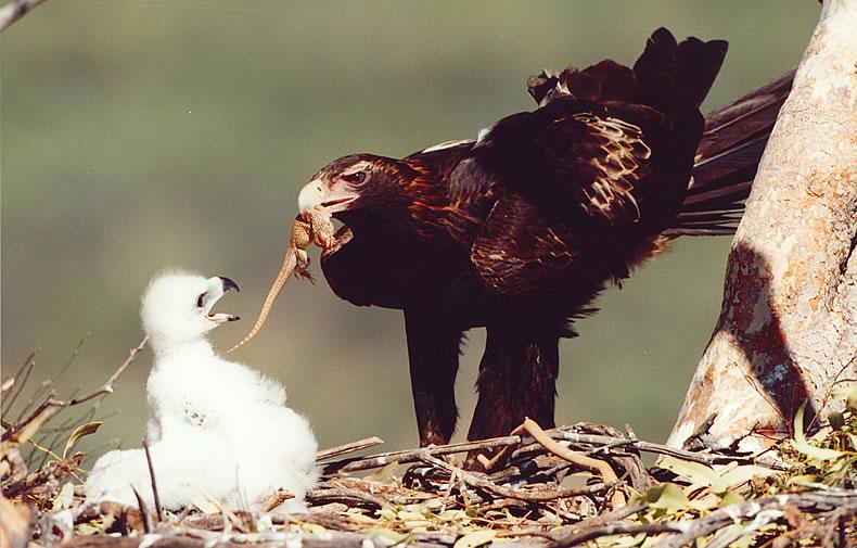Wedge tailed eagle family photos