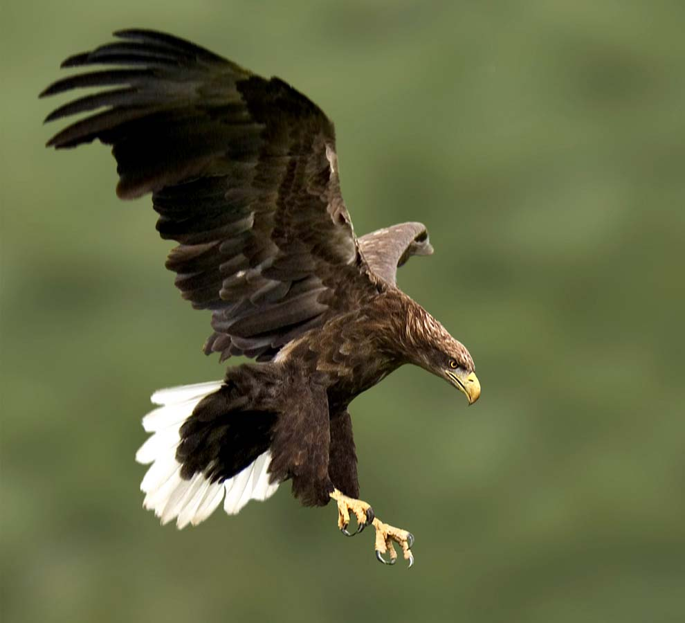 Wedge tailed eagle hd wallpapers