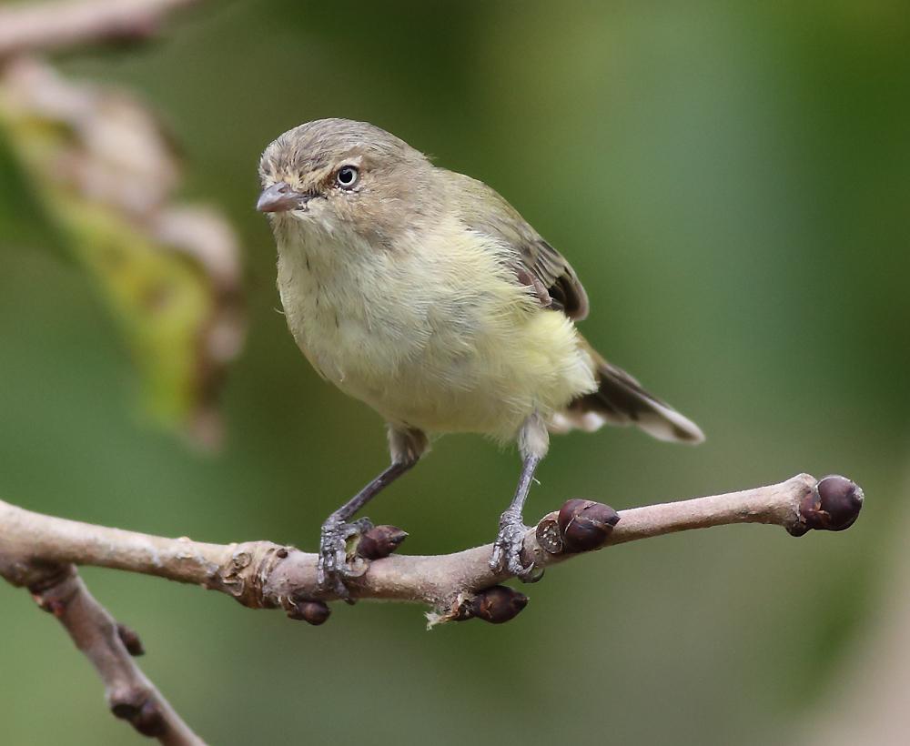 Weebill australian birds pictures