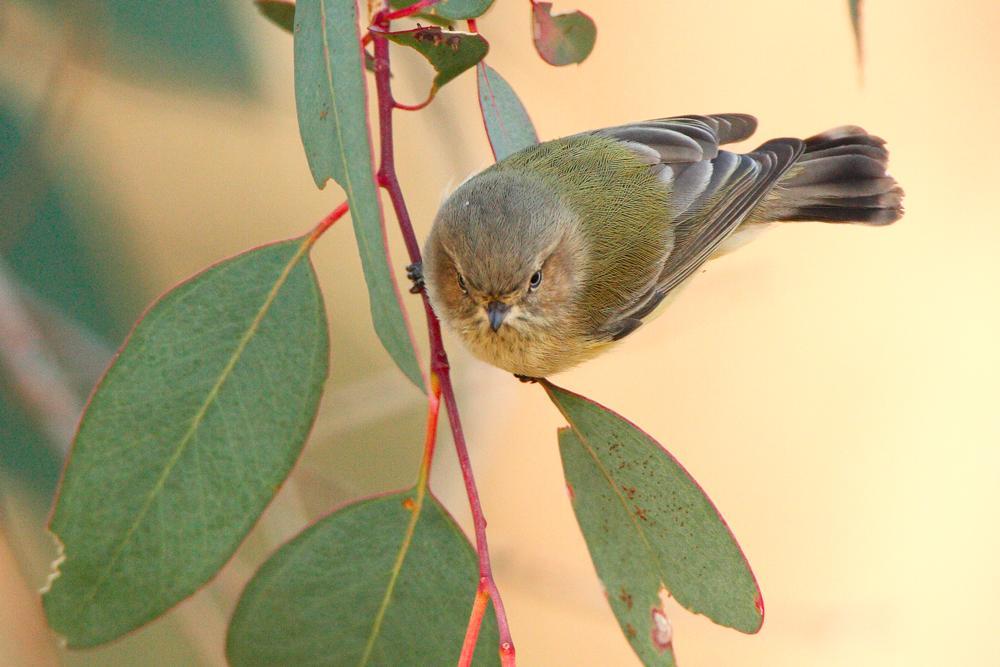 Weebill birds cute photos