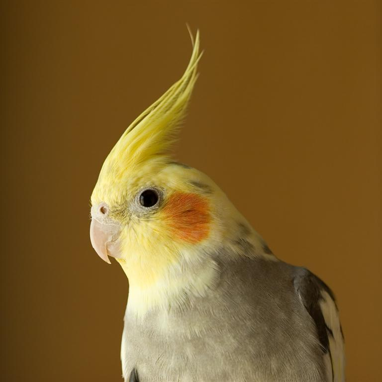 Yellow cockatiel bird pictures