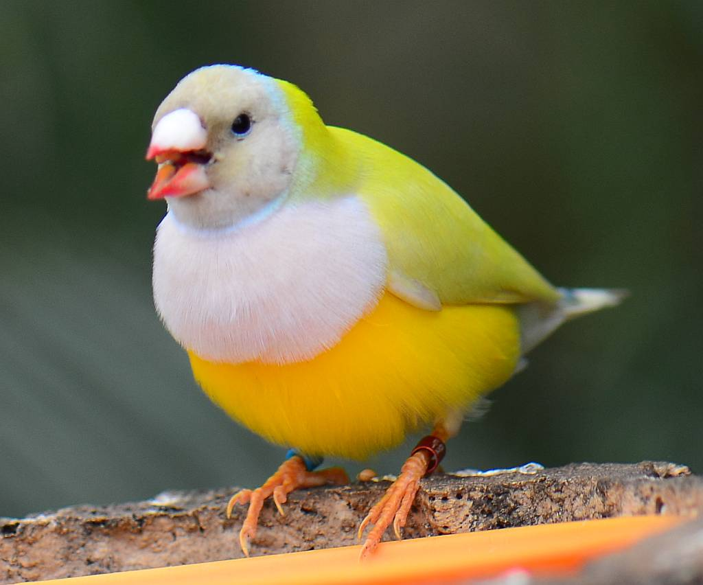 Yellow gouldian finch pictures