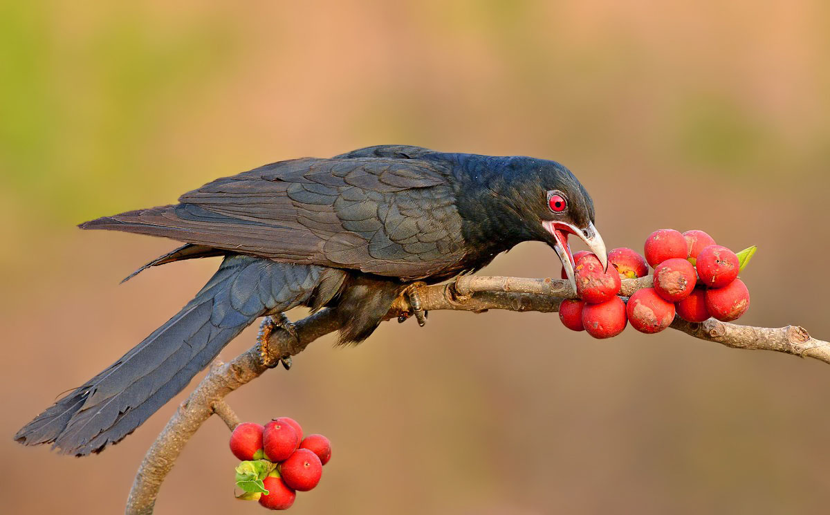 Asian koel eating pictures