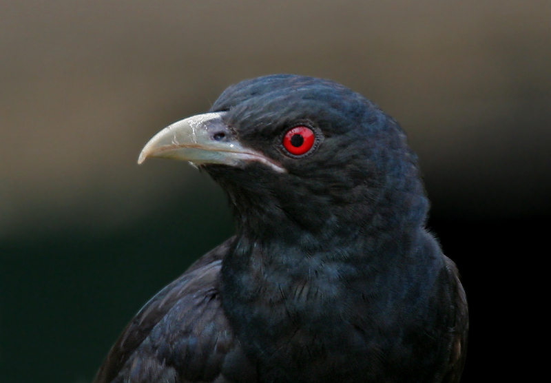 Asian koel face photos