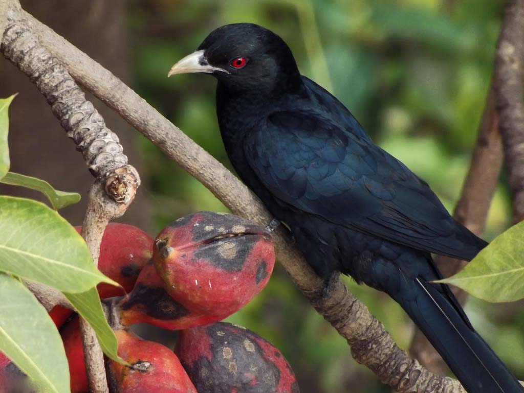 Asian koel male pictures