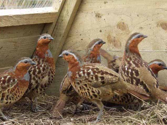 Baby chinese francolin group photos