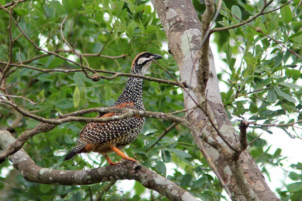 Chinese francolin birds photos