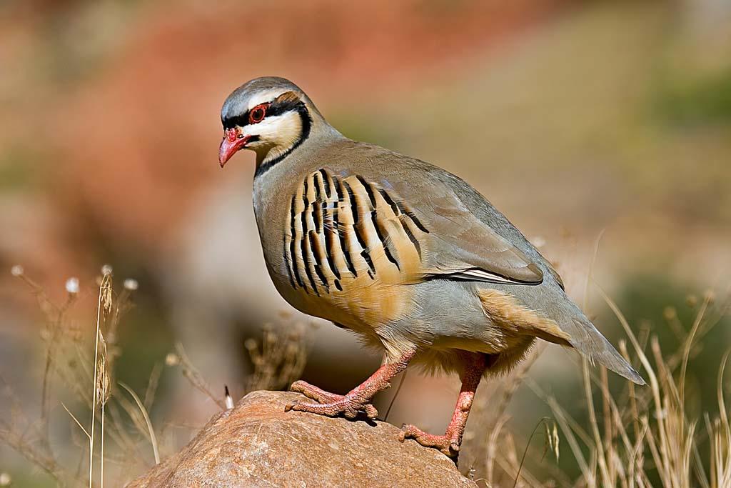 Chukar partridge cute pictures