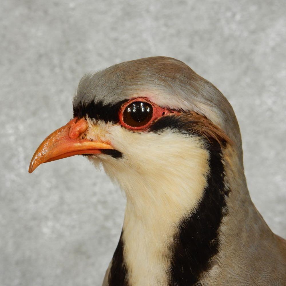 Chukar partridge face photos