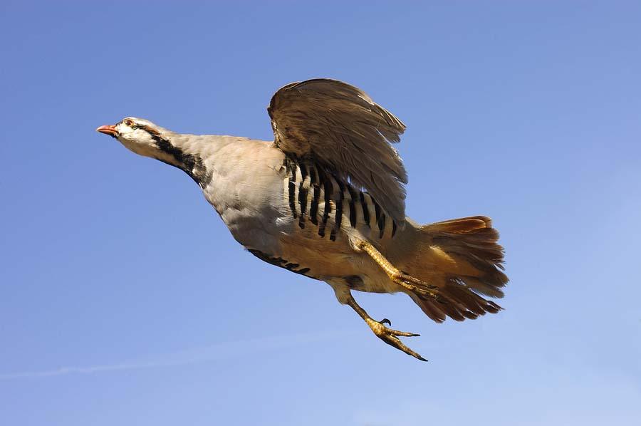 Chukar partridge flying photos