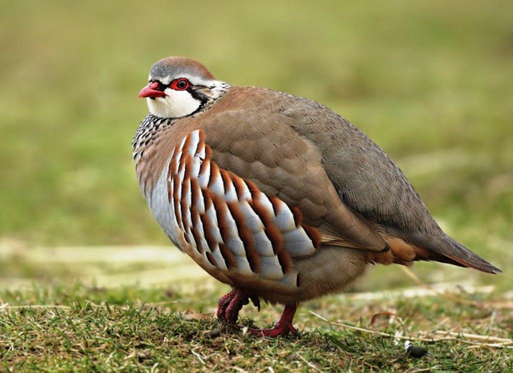 Chukar partridge indian birds gallery