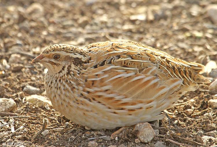 Common quail cute photos