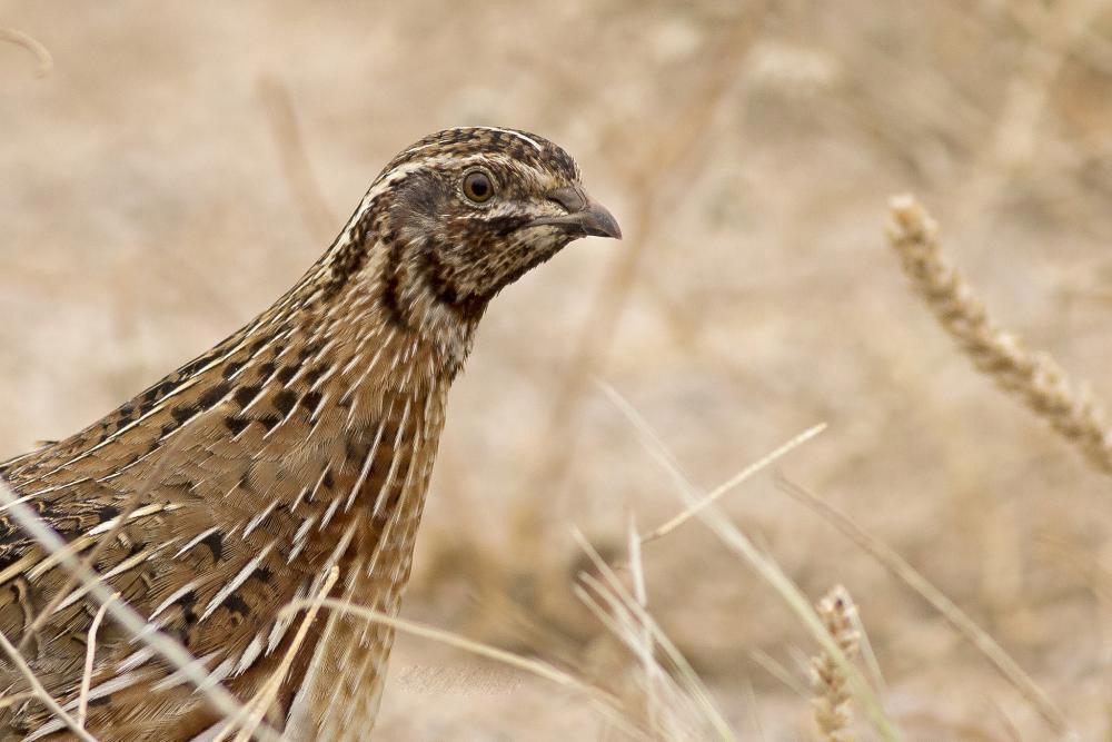 Common quail face photos