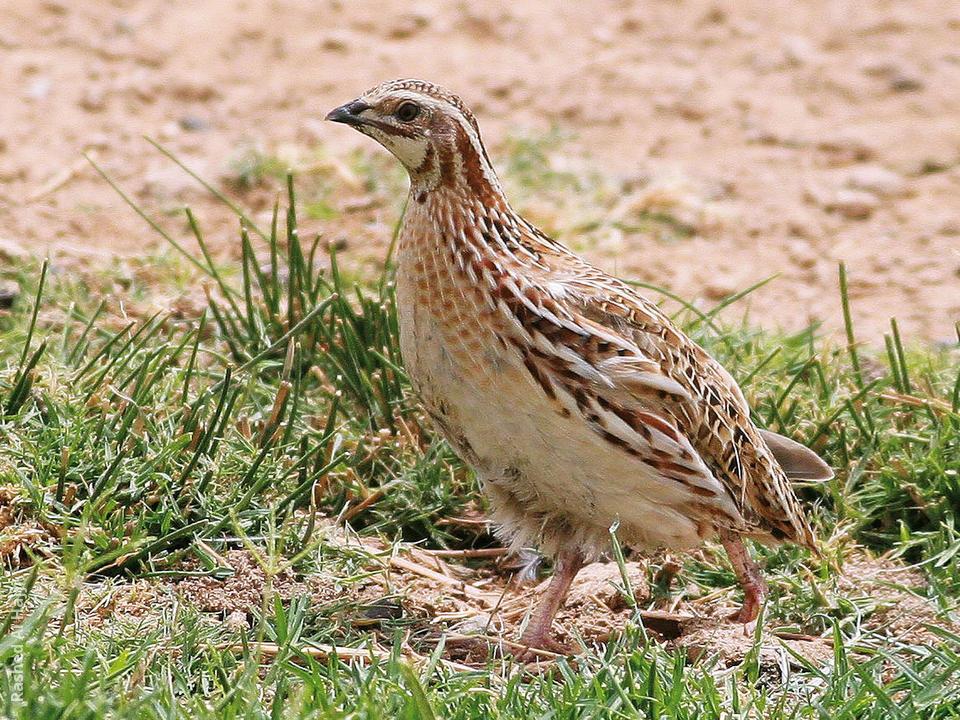 Common quail female photos