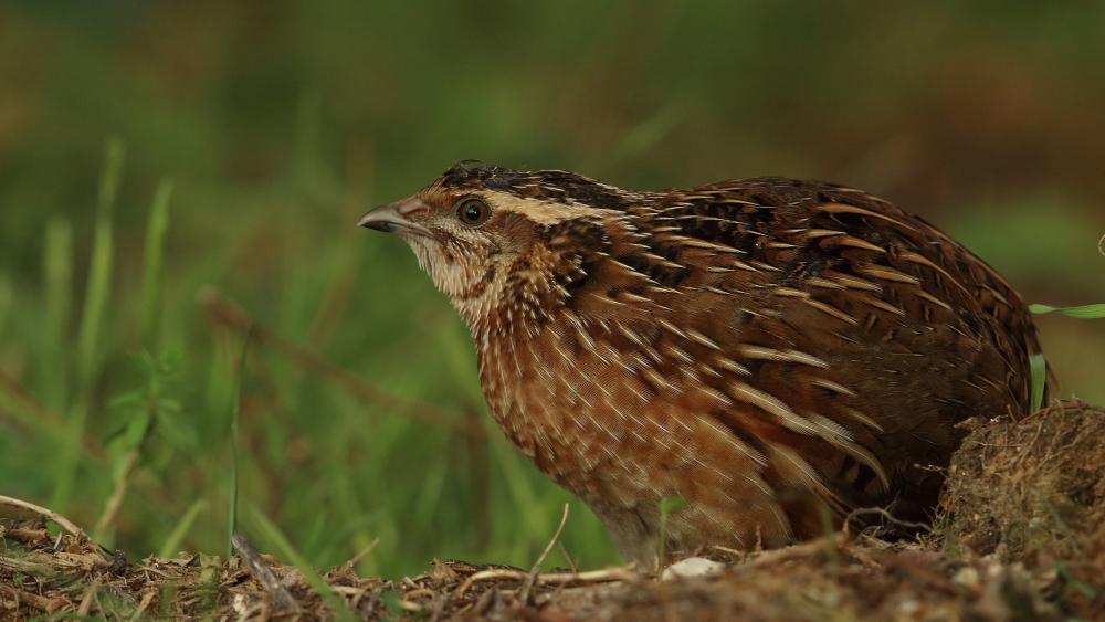 Common quail images