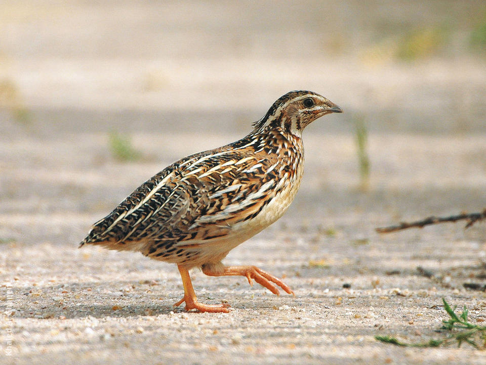 Common quail indian birds gallery