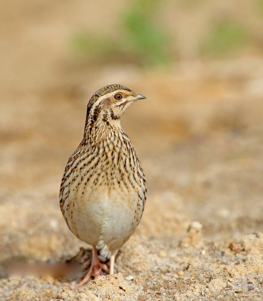 Common quail pictures