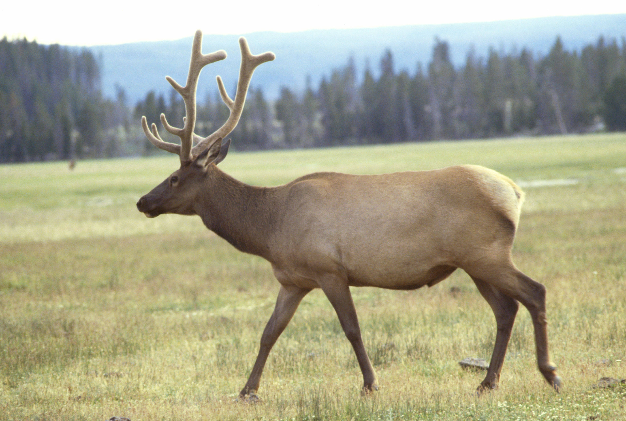 Elk animal wallpaper