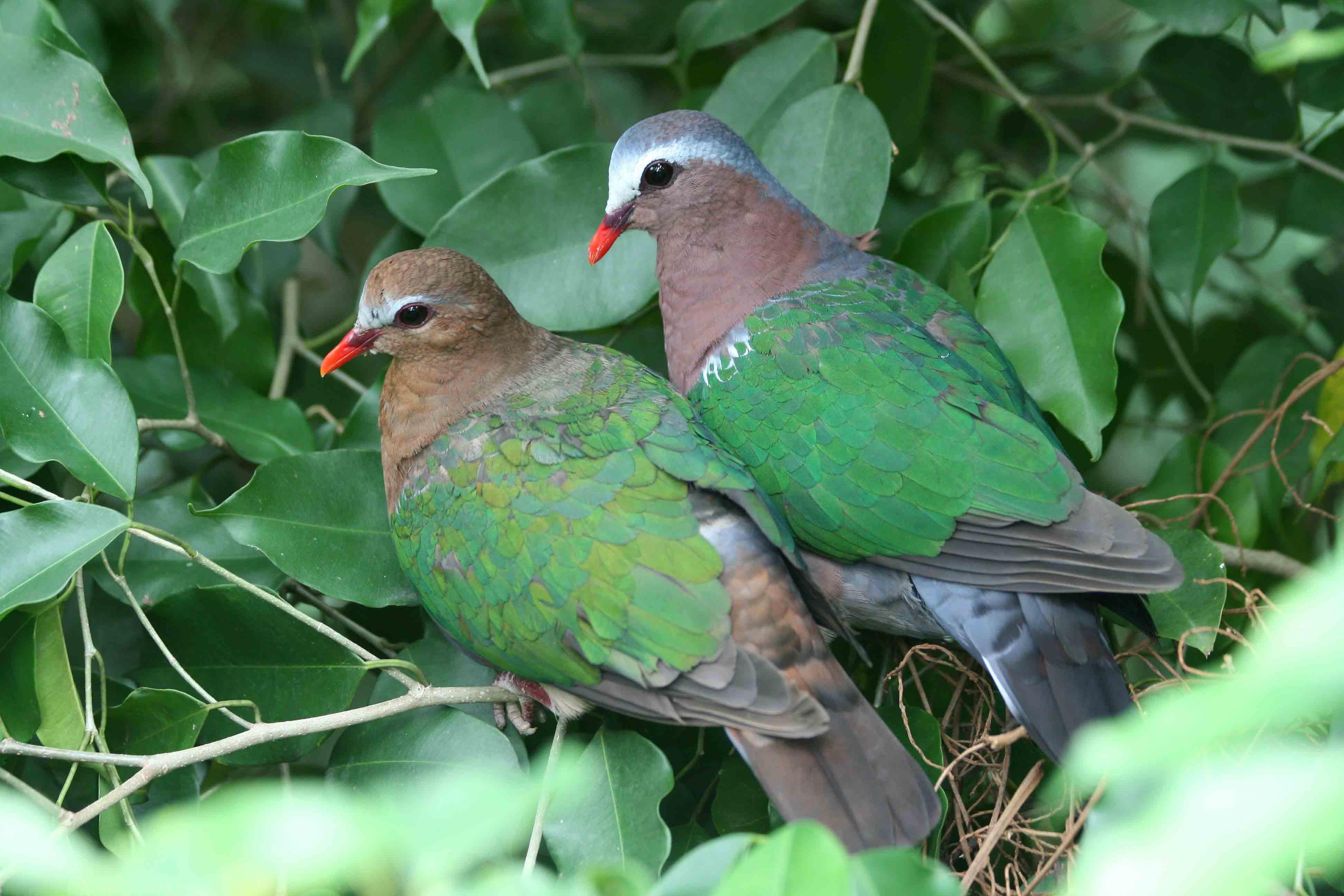 Emerald dove family photos