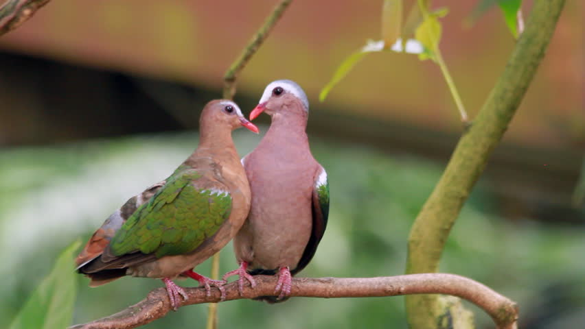 Emerald dove two birds wallpapers