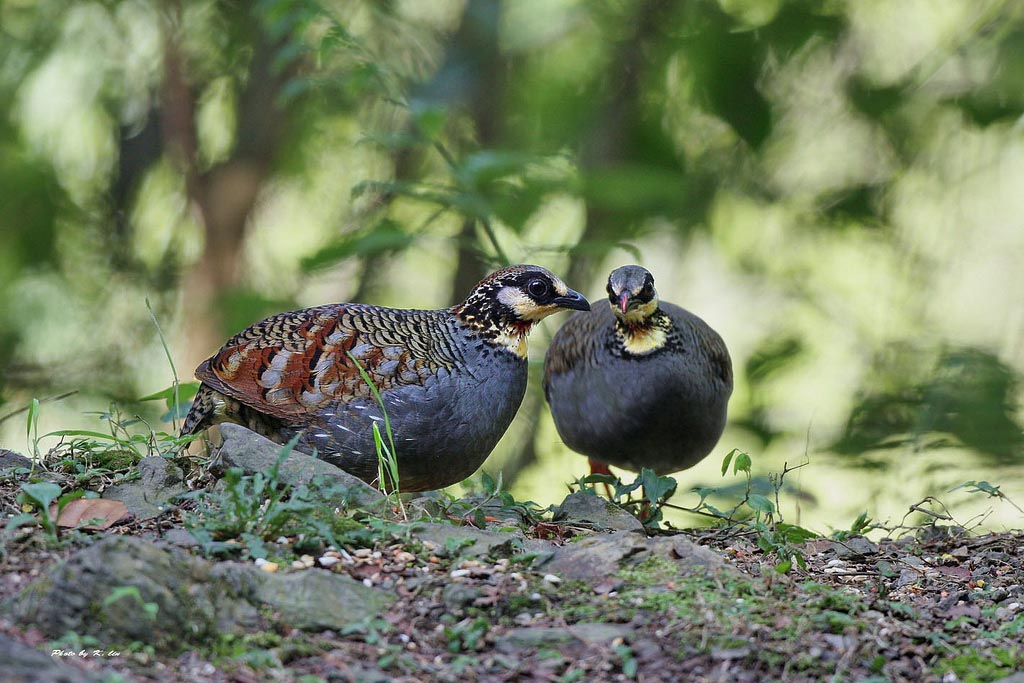 Hill partridge male and female photos