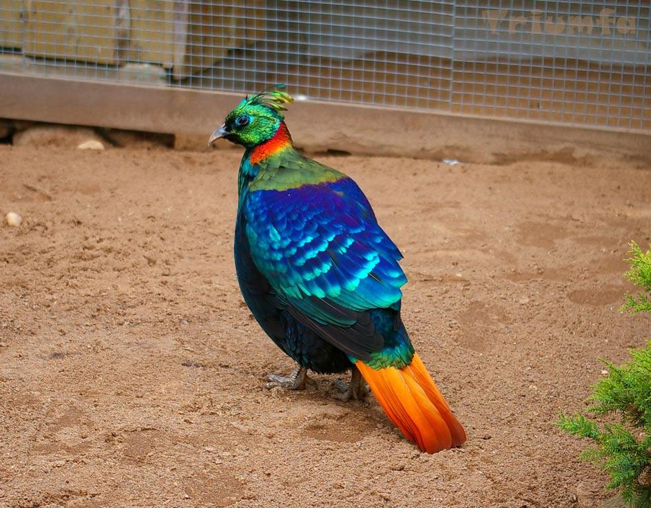 Himalayan monal is an indian birds