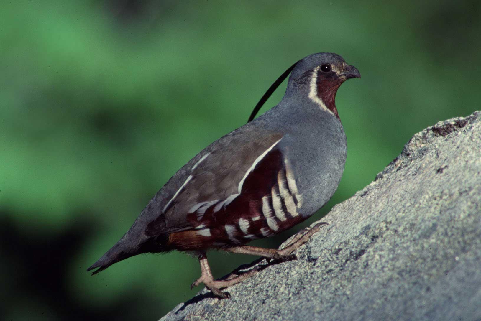 Himalayan quail indian birds gallery
