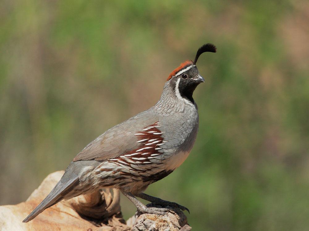 Himalayan quail wallpapers