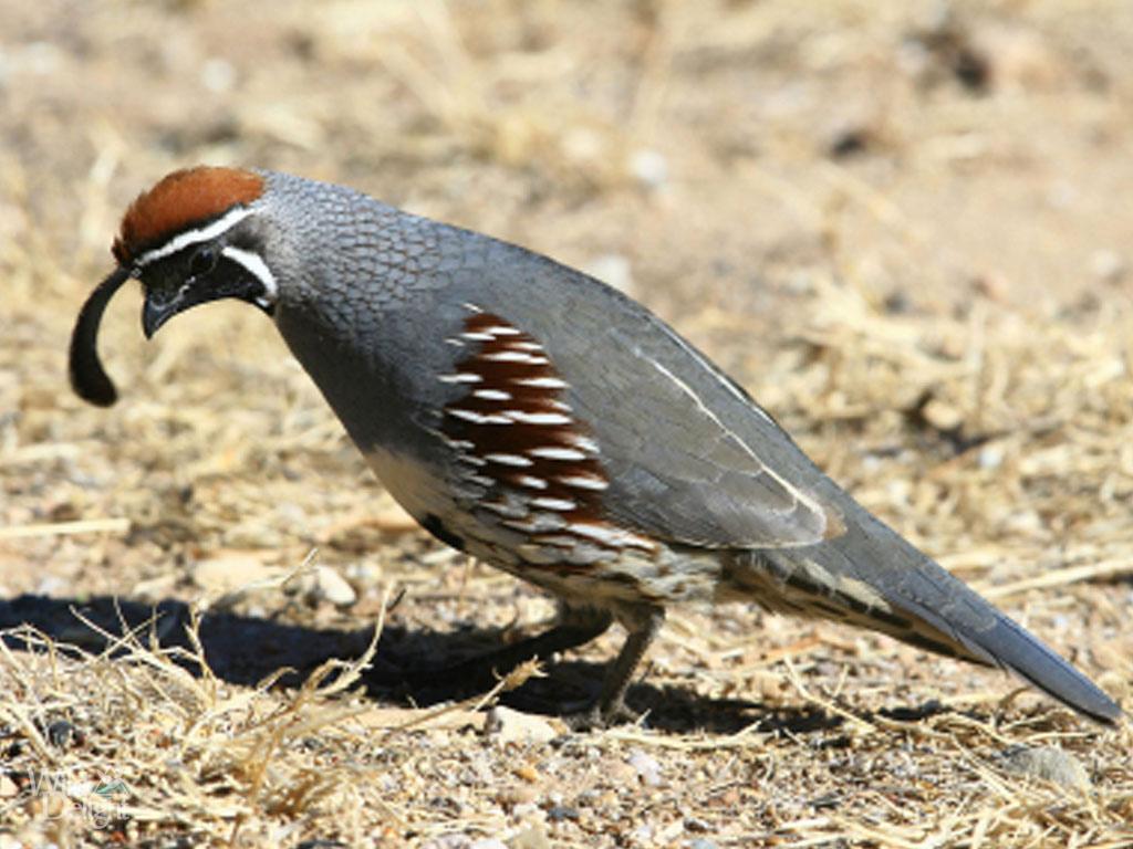 Himalayan quailbirds images